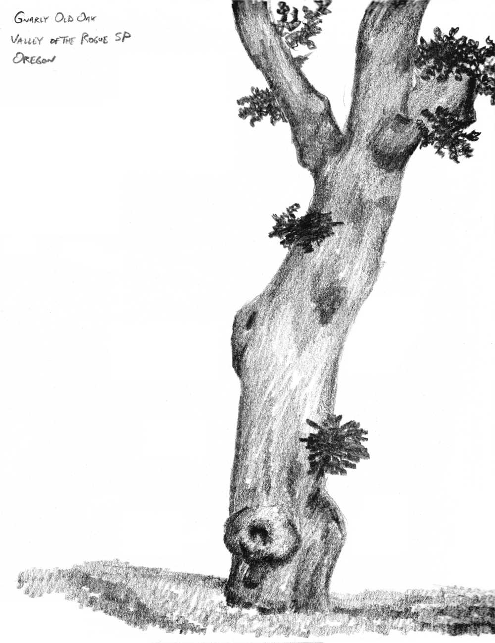 charcoal sketch of oak tree